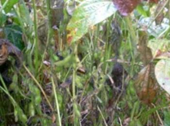 雑草に負けずたわわに実る大豆