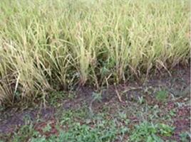 無農薬・無化学肥料の証、雑草。<br>雑草に負けない丈夫な稲が育っている!