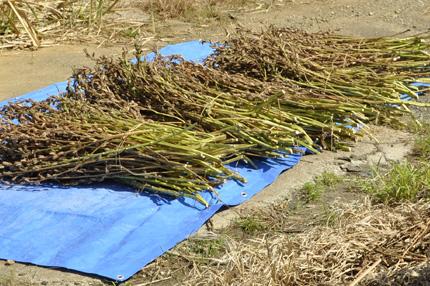 胡麻の収穫