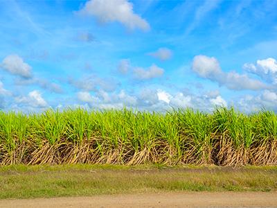 亜熱帯の強い日射しにさらされて育つサトウキビ