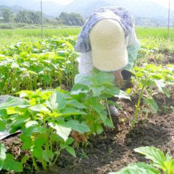 国産ごま栽培畑